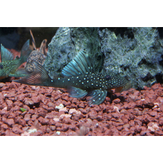L128 - Hemiancistrus spec. blue phantom (WF)