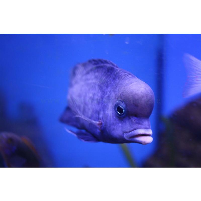 Am fisch kopf beule hat Knubbel am