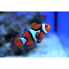 Amphiprion percula - Echter Clown-Anemonenfisch (WF)