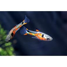 Poecilia wingei red chest - Rotschulter-Endler-Guppy...