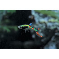 Poecilia wingei lime green - Grüner Endler-Guppy (NZ)