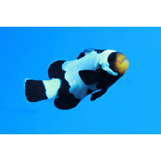 Amphiprion ocellaris black snowflake -...