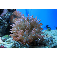 Entacmaea quadricolor speckled - Gefleckte Blasenanemone...