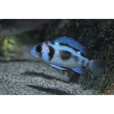 Cyphotilapia frontosa black widow  -...