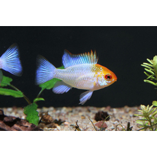 Mikrogeophagus ramirezi blue orange head - Orange-blauer...