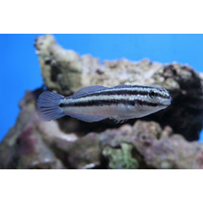 Amblygobius linki - Links Sandgrundel (NZ)